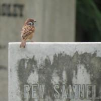Eurasian Tree Sparrow (Passer montanus), Protestant Cemetery, Bangkok