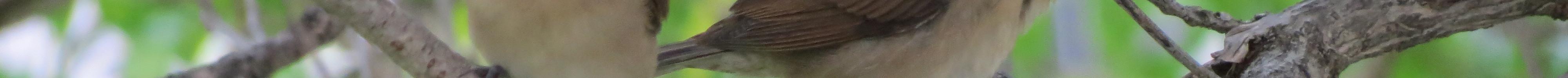 Juvenile Scaly-Breasted Munia (Lonchura punctulata), Bangkok