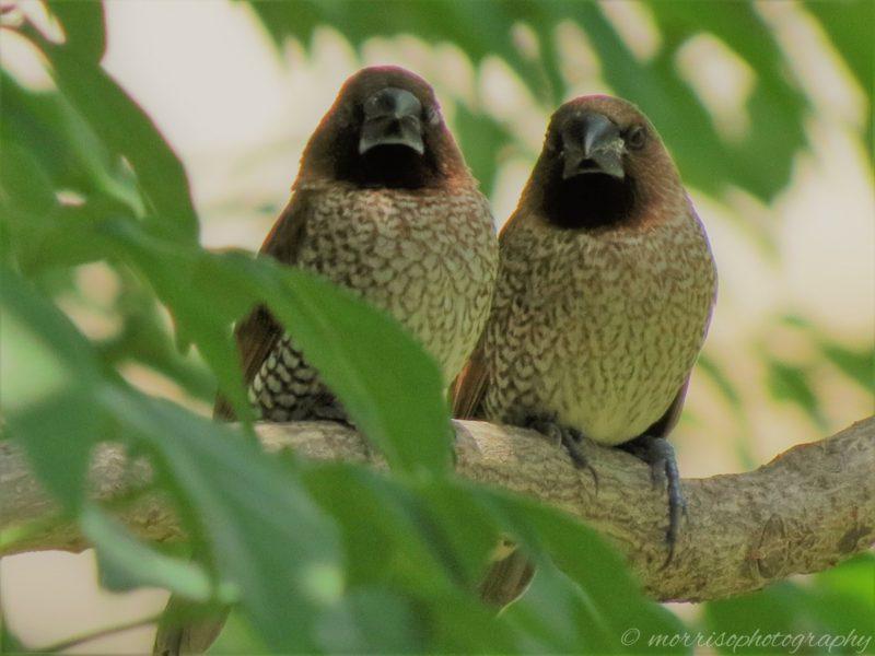 Scaly-breasted Munia (Lonchura punctulata), Birds in Bangkok